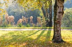 Luz del sol a través de árboles de abedul en caída Foto de archivo