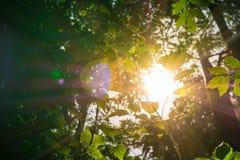 Luz del sol a través de arbustos en la salud de Forest Flare Rays Nature Green Foto de archivo libre de regalías