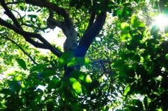 Luz del sol a través de las coronas verdes de árboles Fotografía de archivo libre de regalías