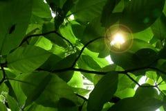 Luz del sol a través de las hojas Fotos de archivo