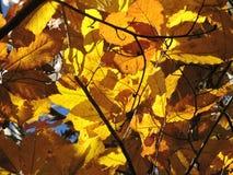 Luz del sol a través de las hojas anaranjadas de la caída Fotografía de archivo