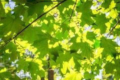 Luz del sol a través de las hojas de un árbol Foto de archivo libre de regalías