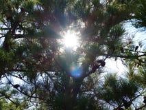 Luz del sol a través de los árboles de pino Foto de archivo libre de regalías
