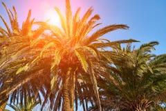Luz del sol a través de ramas de las palmas imagen de archivo