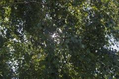Luz del sol a través de viejas arrugadas de abedules Fotos de archivo libres de regalías