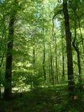 Luz del sol del verano en el bosque Foto de archivo