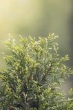 Luz del sol verde del ciprés Imagenes de archivo