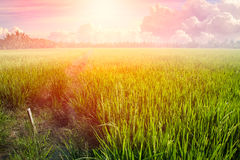 Luz del verano de la subida o del día de Sun de la mañana del paisaje del campo del arroz fotografía de archivo libre de regalías