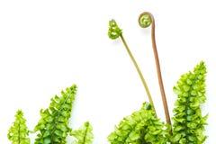 Luz delicada - folhas verdes da samambaia Imagens de Stock
