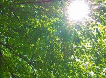 Luz densa de la mañana del foliagein del árbol de abedul con luz del sol Imagenes de archivo