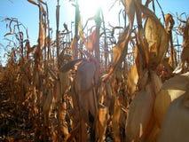 Luz do dia do campo de milho Foto de Stock
