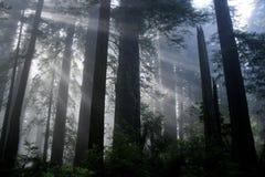 Luz do Redwood Fotos de Stock Royalty Free