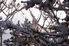 A luz do sol através da flor de Wintersweet Imagem de Stock Royalty Free