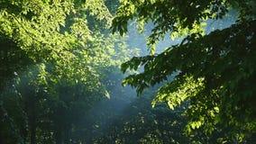 luz do sol através das folhas Raias de Sun na floresta filme