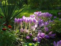Luz do sol da busca de Autumn Crocus no jardim da queda Foto de Stock Royalty Free