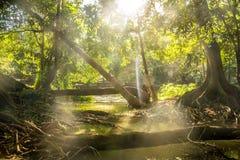 Luz do sol da floresta foto de stock