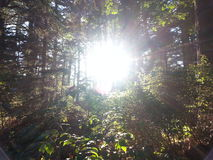 Luz do sol da floresta Fotos de Stock Royalty Free