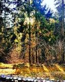 Luz do sol da floresta Fotos de Stock