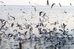 Luz do sol da rusga da gaivota do grupo Fotografia de Stock Royalty Free