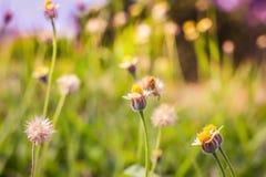 Luz do sol de florescência da grama do verão em junho, falada sem pensar e gras da flor Fotografia de Stock