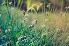 Luz do sol de florescência da grama do verão em junho, falada sem pensar e gras da flor Foto de Stock Royalty Free