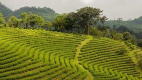 Luz do sol em plantações de chá, Tailândia Fotografia de Stock