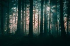 Luz do sol do inverno que brilha através de uma floresta nevoenta misteriosa fotos de stock