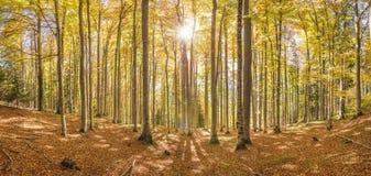 Luz do sol na floresta da árvore de faia Fotos de Stock Royalty Free