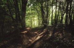 Luz do sol na floresta verde do verão Fotos de Stock
