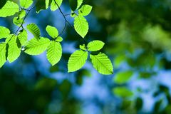 Luz do sol nas folhas Imagens de Stock Royalty Free