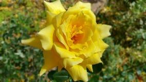 Luz do sol Rosa da queda Imagem de Stock Royalty Free