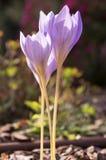 Luz do speciosus do açafrão - flor roxa violeta Fotografia de Stock