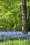 Luz dourada morna em madeiras do bluebell da mola Imagens de Stock Royalty Free