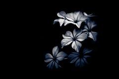 Luz e máscara preto e branco da flor Imagens de Stock
