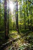 Luz en el bosque Fotografía de archivo libre de regalías