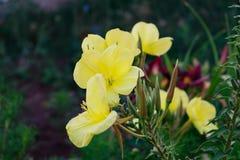Luz - flor amarela, dia no jardim Imagens de Stock Royalty Free