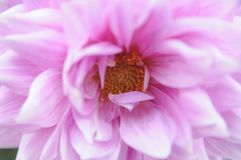 Luz - flor cor-de-rosa Fotografia de Stock Royalty Free