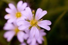Luz - flor cor-de-rosa Foto de Stock Royalty Free