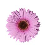 Luz - flor roxa do Gerbera Imagem de Stock Royalty Free