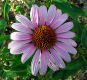 Luz - flor roxa do Gerbera Fotos de Stock Royalty Free