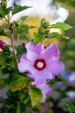 Luz - flor roxa do hibiscus cercado pelo leaves_ verde Imagem de Stock