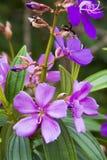 Luz - flor tropical roxa Imagens de Stock Royalty Free