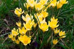Luz - flores amarelas dos açafrões no jardim Açafrões alpinos Fim acima Fotos de Stock