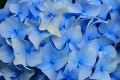 Luz - flores azuis do Hortensia Fotos de Stock Royalty Free