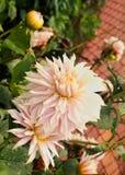 Luz - flores e botões cor-de-rosa no parque de bryant, kodaikanal fotografia de stock royalty free