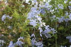 Luz - flores pequenas azuis Imagens de Stock Royalty Free