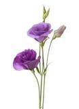 Luz - flores roxas fotos de stock