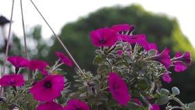 Luz - flores roxas em uma cesta de suspensão vídeos de arquivo