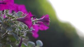 Luz - flores roxas em uma cesta de suspensão video estoque