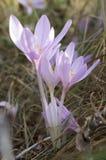 Luz - flores roxas violetas do autumnale do Colchicum, açafrão de outono Imagem de Stock Royalty Free